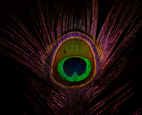 Close up of a brightly colored peacock feather